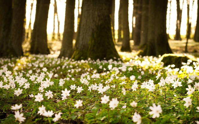 wallpapers_white-flowers-forest-2560x1600.jpg